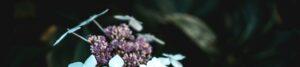 """Motto-Bild mit Hortensien-Blüten zur Illustration der Rubrik """"Aktuelles"""" auf dem Blog der Berliner Paartherapeutin Julia Bellabarba"""
